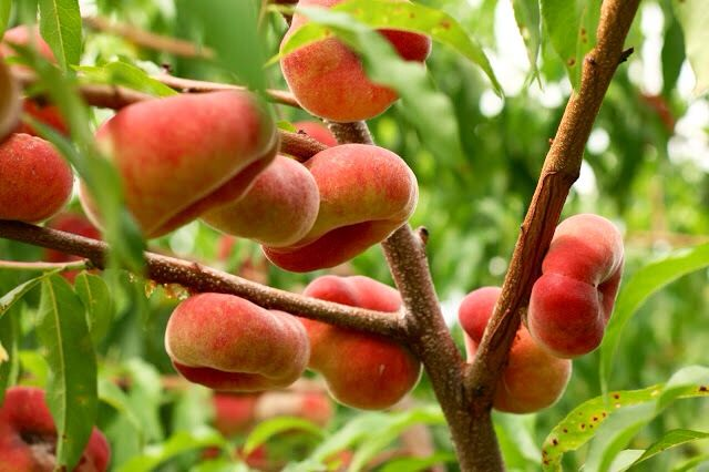 Healthy fruits on a tree